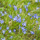 Flowering Scilla ( squills) Royalty Free Stock Images