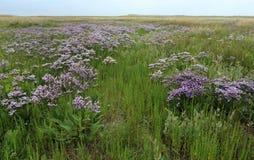 Flowering Sea Lavender in De Slufter, Texel, Netherlands stock image
