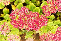Flowering sedum Stock Photos