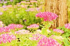 Flowering sedum Royalty Free Stock Image