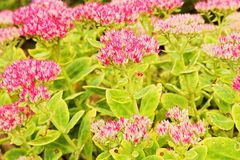 Flowering sedum Stock Images
