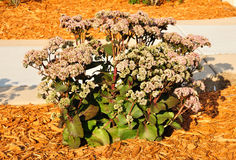 Flowering Sedum Matrona Royalty Free Stock Images