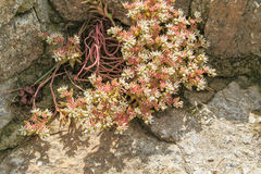 Flowering sedum on a retaining wall, close-up Royalty Free Stock Photography