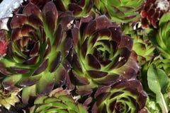Flowering sempervivum Royalty Free Stock Images