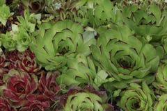 Flowering sempervivum Royalty Free Stock Photo