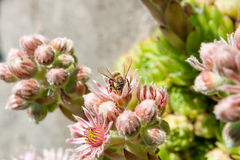 Flowering Sempervivum minutum with buds with bumblebee. The perennials have a mat-forming habit and reach heights of 2 to 4 centimetres. Sempervivum minutum is Royalty Free Stock Photo