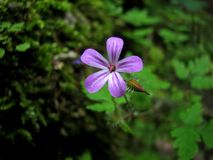 Flowering shamrock Stock Photography