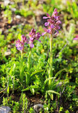 Flowering shoots of forest orchids Stock Photography