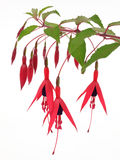 Flowering shrub. Close-up shot of a fuchsia Stock Photo