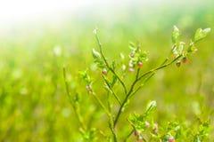 Flowering shrub Royalty Free Stock Photos