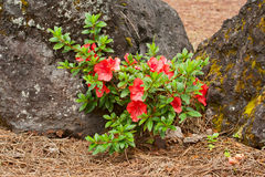 Flowering shrub azaleas Royalty Free Stock Photography