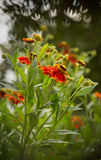 Flowering shrub Gaillardia with shaped bokeh in the background royalty free stock images