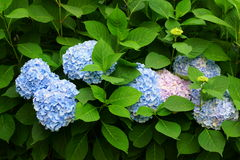 Flowering shrub Hortensia. Blue-colored flower heads of a Hortensia shrub blooming in summer Royalty Free Stock Photography