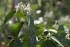 Flowering shrub lemon. Flowering shrub lemon in the sun Royalty Free Stock Photography