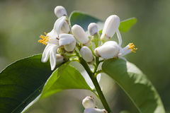 Flowering shrub lemon. Flowering shrub lemon in the sun Stock Image