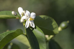 Flowering shrub lemon. Flowering shrub lemon in the sun Stock Photo
