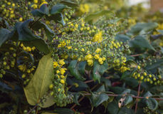 Flowering shrub Mahonia. Royalty Free Stock Photography