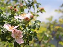 Flowering shrub roses Stock Image