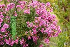 Flowering shrub Stock Image