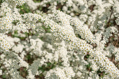Flowering shrub Spirea Royalty Free Stock Photos