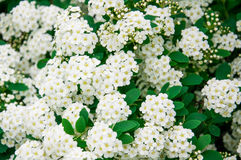Flowering shrub. Spirea - May Bride royalty free stock images