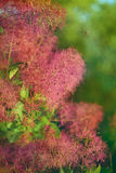 Flowering shrub sumac. Soft fluffy weightless inflorescence in the form of fluffy balls gently pink, lilac. natural natural green background. warm light Royalty Free Stock Image