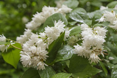 Flowering shrub with white flowers in rainy weather Royalty Free Stock Images