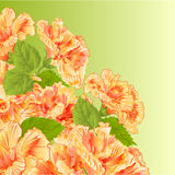 Flowering shrub yellow hibiscus vector Stock Photos