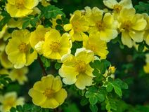 Yellow Rosa canina. Flowering shrub yellow rose. royalty free stock photo