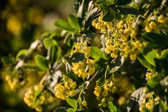 Flowering shrubs of barberry Stock Photography