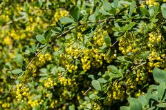 flowering shrubs of barberry Royalty Free Stock Photos