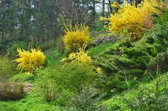Flowering shrubs, golden rain, South Bohemia Stock Images
