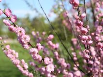 Flowering shrubs. Pink flowers on the branches stock footage