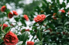 Flowering shrubs of red camellia. With lush green leaves. red flowers in the midst of thick foliage royalty free stock photo