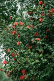 Flowering shrubs of red camellia. With lush green leaves. red flowers in the midst of thick foliage stock images