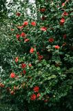 Flowering shrubs of red camellia. With lush green leaves. red flowers in the midst of thick foliage royalty free stock image