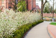 Flowering shrubs on the street. White flowering shrubs on the street Stock Photos