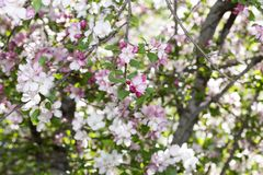 Flowering Siberian Apple-tree Royalty Free Stock Image