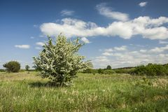 Flowering small single tree in the meadow and clouds in the sky