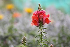 Flowering snapdragons Stock Image