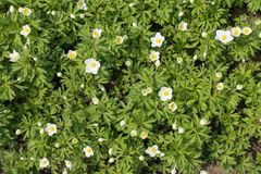 Flowering snowdrop anemone. From above stock image