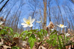 Flowering snowdrop anemone in forest Royalty Free Stock Photos