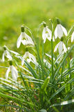 Flowering snowdrops Stock Photos
