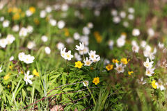 Flowering snowdrops. Flowering snowdrops yellow and white on a background of forest green grass Royalty Free Stock Photos