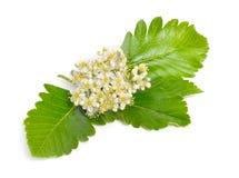 Flowering Sorbus intermedia Isolated on white background.  royalty free stock image