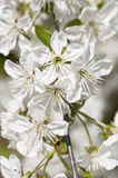 Flowering sour cherry orchard close Stock Image