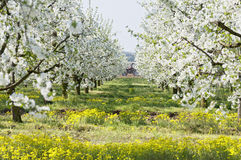 Flowering sour cherry orchard Royalty Free Stock Photos