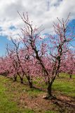 Peach Orchard in Bloom Royalty Free Stock Images