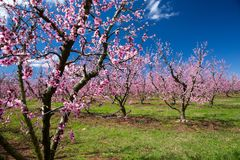 Peach Orchard in Bloom Royalty Free Stock Image