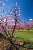 Peach Orchard in Bloom Royalty Free Stock Photo